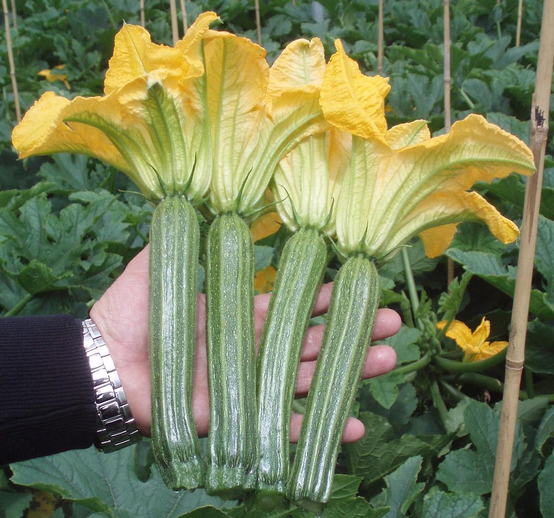 Varietà Zucchine Da Fiore sementi zucchine - meridiem seeds